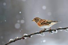 BramblingFringillamontifringilla i vinter fotografering för bildbyråer
