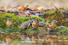 Bramblings napoju woda w jesieni kałuży Obraz Stock