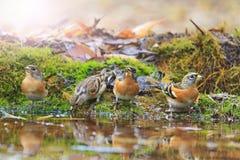 Bramblings piją wodę w jesieni kałuży z pogodnym punktem zapalnym Zdjęcie Stock