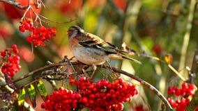 Bramblingsvogel, Fringilla-montifringilla, in de wintergevederte het voeden bessen stock video