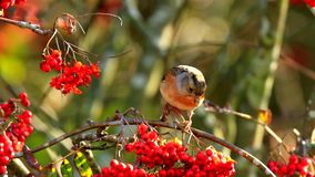 Bramblingsvogel, Fringilla montifringilla, in F?tterungsbeeren des Wintergefieders stock video