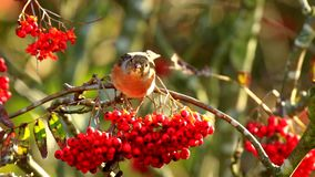 Bramblingsvogel, Fringilla montifringilla, in F?tterungsbeeren des Wintergefieders stock video footage
