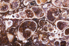 Brame fossile d'agate de turritella Photos stock