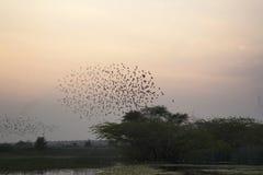 Bramhini starling vormingen in de hemel, India royalty-vrije stock fotografie