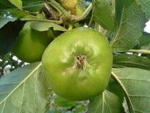 Bramley Apple zdjęcie royalty free