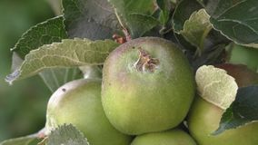 Bramley apple cluster. Cluster of Bramley apples starting to grow against sunlit leaves - closer view stock video footage
