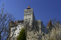 Bran Castle with blossom tree in foreground. Bran Castle Romania with white blossom tree in foreground. Blue sky in background Stock Photography