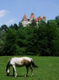 Bran horse. White horse near Bran castle in Romania Stock Image