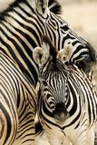 Zebras. Bran of zebras in African savannah royalty free stock photo