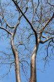 Brance inoperante da árvore Foto de Stock Royalty Free