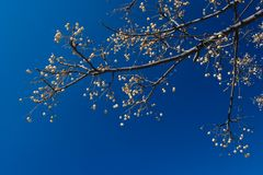 Branch. Spring Time: Branch of flowering tree against deep blue sky Stock Photos