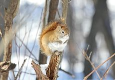 On a branch. Squirrel on a branch in forest during winter Royalty Free Stock Photography