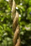 Branch. A  twirled up branch in the rain forest Royalty Free Stock Image