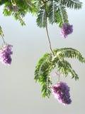 Branch of acacia stock photos