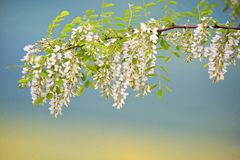 Branch of Acacia Flowers royalty free stock photo