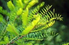 Branch of acacia Stock Photo