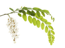 Acacia Stock Image