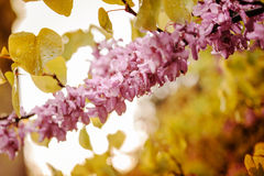 Branch of acacia pink vibrant flowers Royalty Free Stock Photo