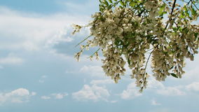 Branch With Acacia Tree Flowers Blooming in. Branch with acacia tree flowers swaying by wind against blue cloudy sky, locked down stock video