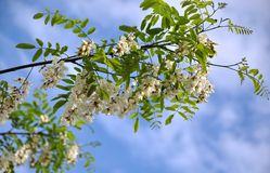 Branch of acacia white with bloom. On the background of the sky Stock Images