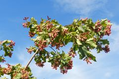 Branch of Acer ginnala Royalty Free Stock Image