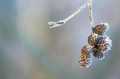 Branch of alder cones Stock Photos