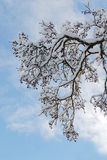 A branch of alder covered with snow and blue sky Stock Photos