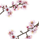Branch with almond flowers Royalty Free Stock Images