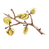The branch of the almond. Isolated on a white background. Watercolor illustration. Stock Images