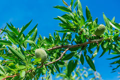 Branch of an almond tree, background sky. Branch of an almond tree, background blue sky Stock Photo