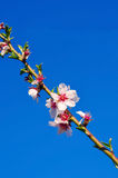 Branch of almond tree with first flowers and turgid buds. Royalty Free Stock Photography