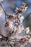 A branch of almond tree flowers Stock Image