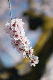 A branch of almond tree flowers Stock Images