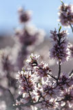 A branch of almond tree flowers Royalty Free Stock Photos