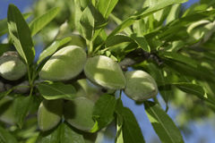 Branch of almond tree with green almonds Royalty Free Stock Photos