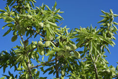 Branch of almond tree with green almonds Stock Photography