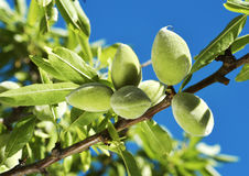 Branch of almond tree with green almonds Royalty Free Stock Photo