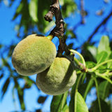 A branch of almond tree with some green almonds Royalty Free Stock Photography