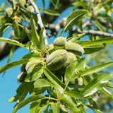 A branch of almond tree with some green almonds Royalty Free Stock Image