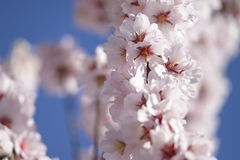 Branch of almond trees in full bloom Stock Photos