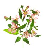 Branch of an alstroemeria Royalty Free Stock Image