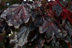 Branch of amazing dark-purple autumn leaves of Crimson King Norway maple tree