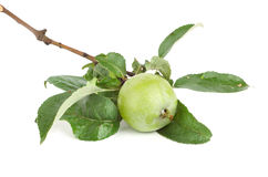 Branch of apple Royalty Free Stock Image
