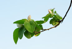 A branch of apple Stock Image