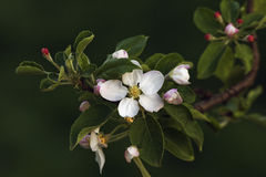 Branch of Apple Blossom Royalty Free Stock Images