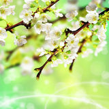 Branch of apple blossom. Branches of apple on a green background Royalty Free Stock Photography
