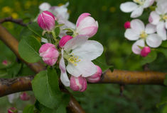 Branch of apple blossom close-up Stock Image