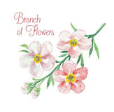 Branch of apple blossom Stock Image