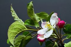 Branch of apple with blossoming blossom. Flower of apple with drops of water. Symbol of spring arrival Stock Image