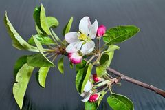 Branch of apple with blossoming blossom. Flower of apple with drops of water. Symbol of spring arrival Stock Photos